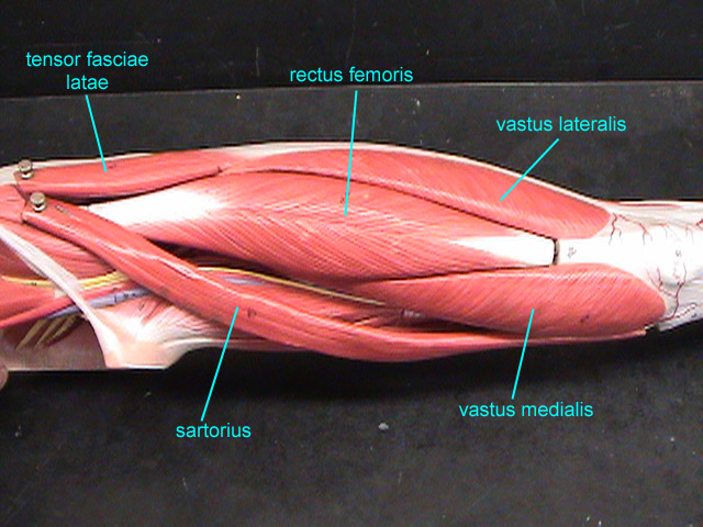 Compare Adductor Longus In A Human And Cat