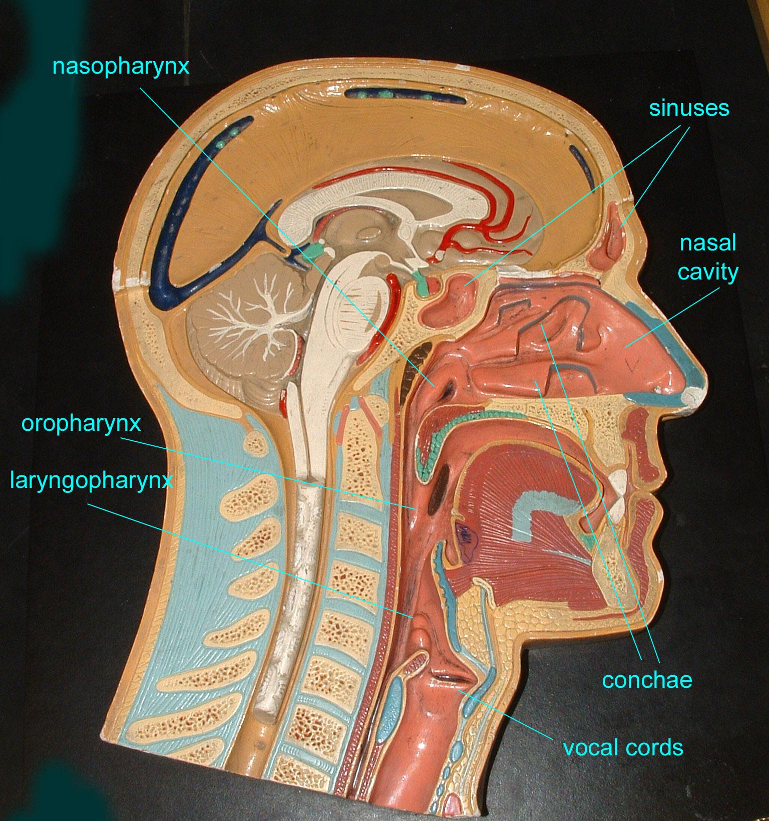 esophagus model wwwimgkidcom the image kid has it