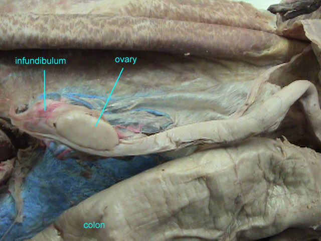 Image Of A Cat S Organ