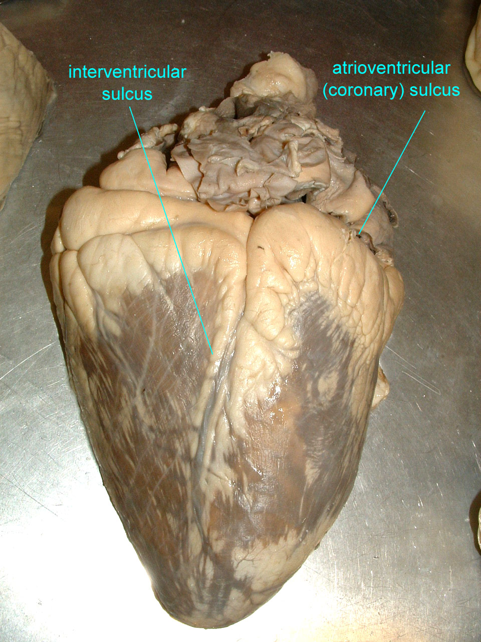 Cow heart anatomy