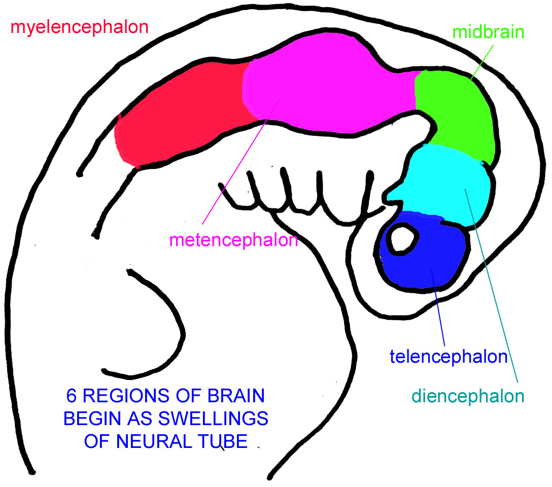 Untitled document the vertebrate brain begins its development as a tube whose separate regions differentiate into the brain regions found in the adult ccuart Images