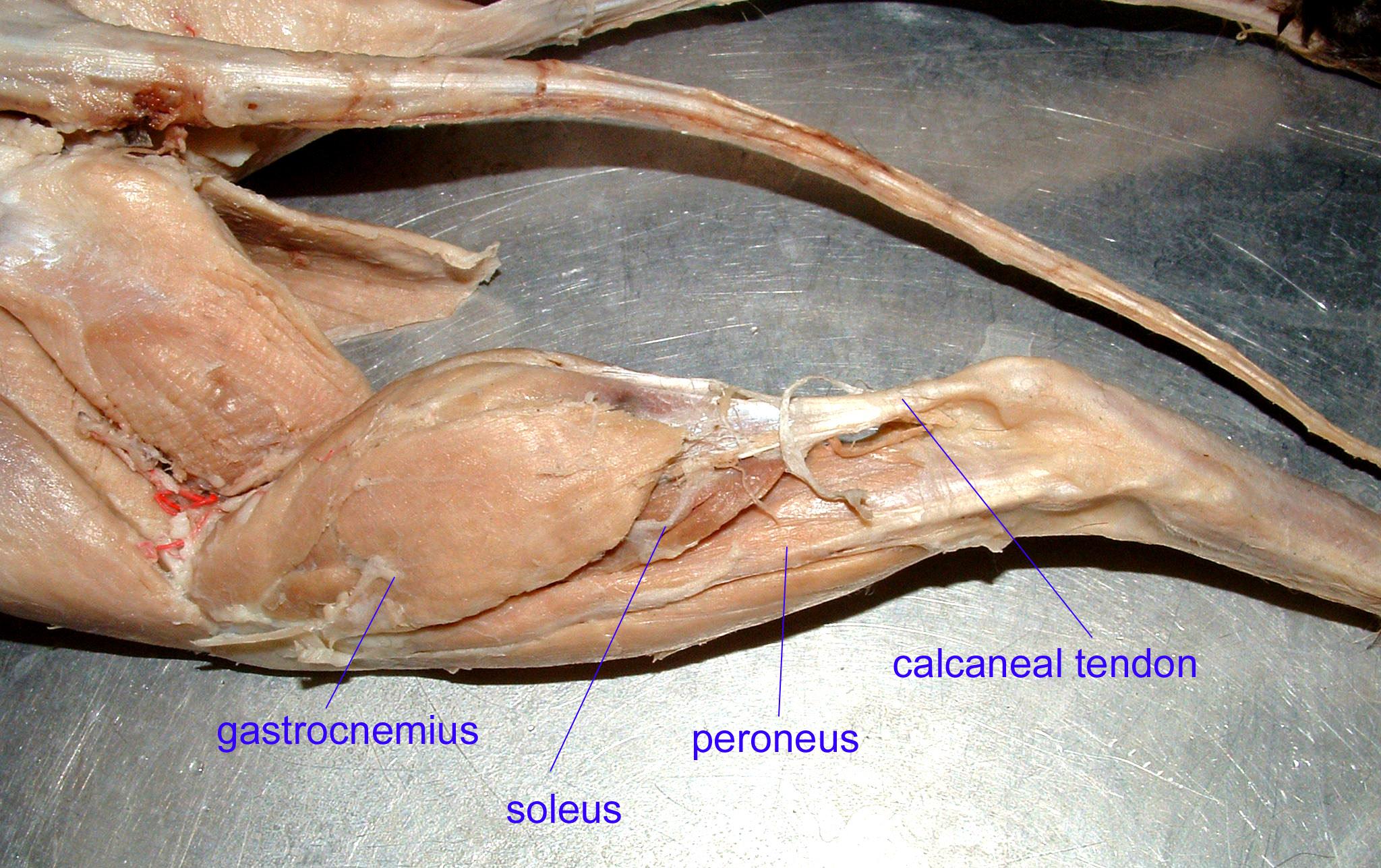 gastrocnemius cat - photo #4