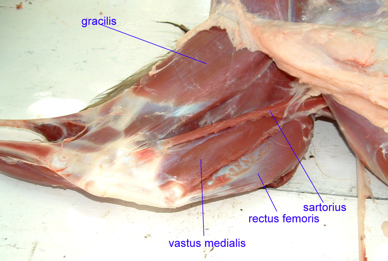 Chicken Wing Dissection Anatomy Diagram