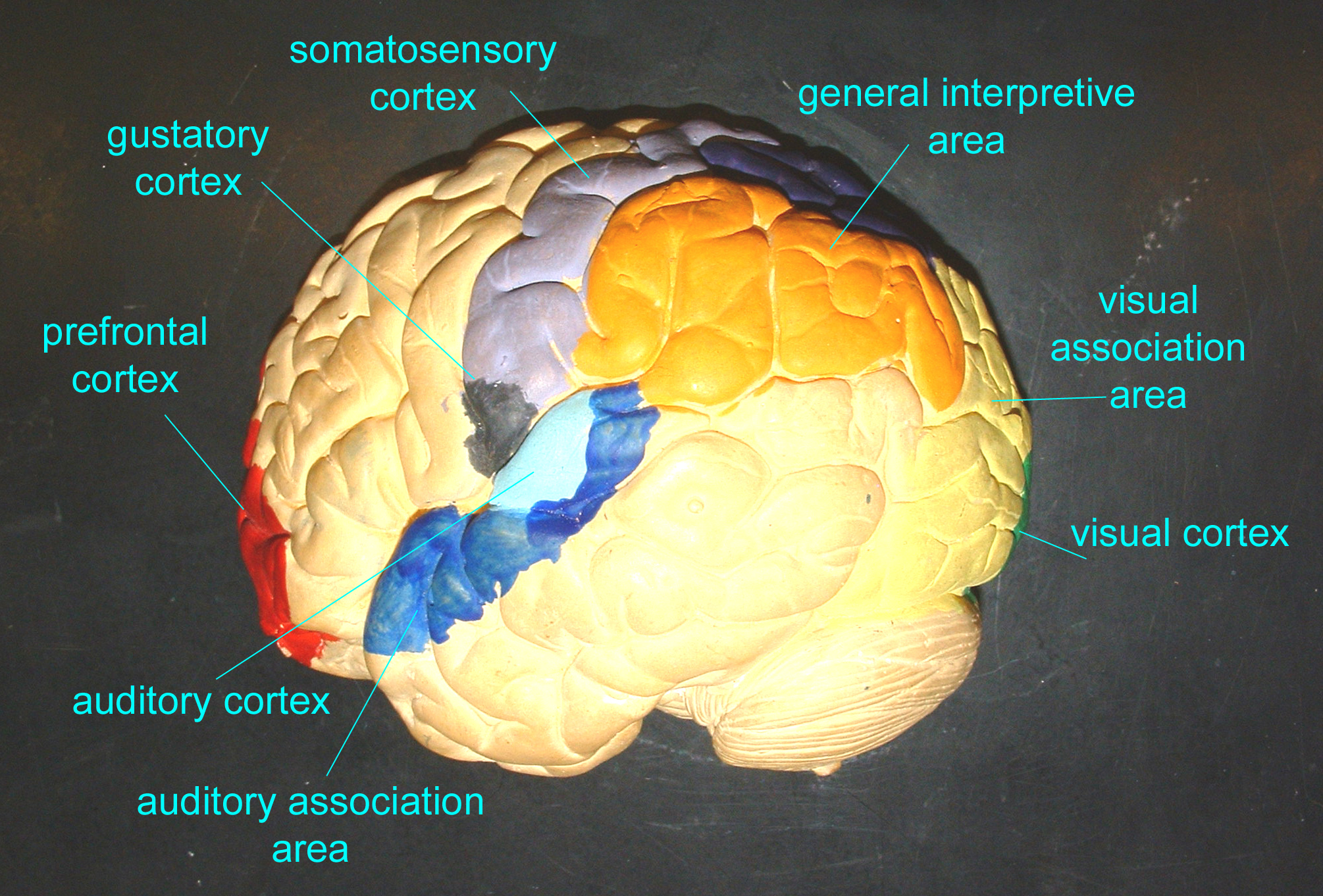 Monkey Brain Anatomy