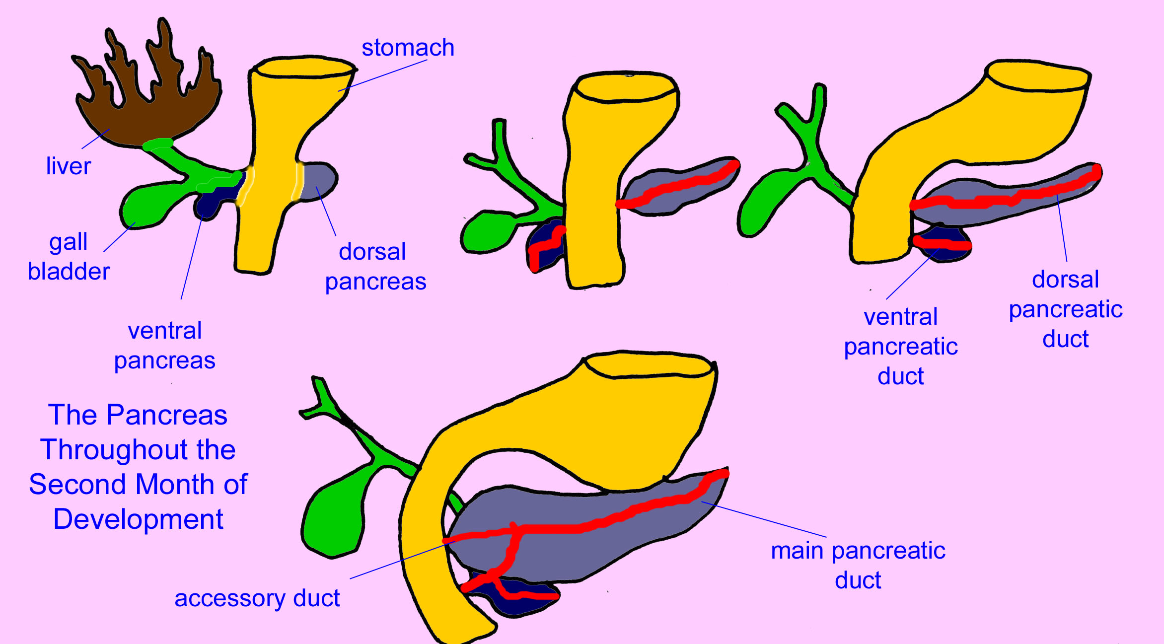 Untitled document development of pancreas ccuart Choice Image