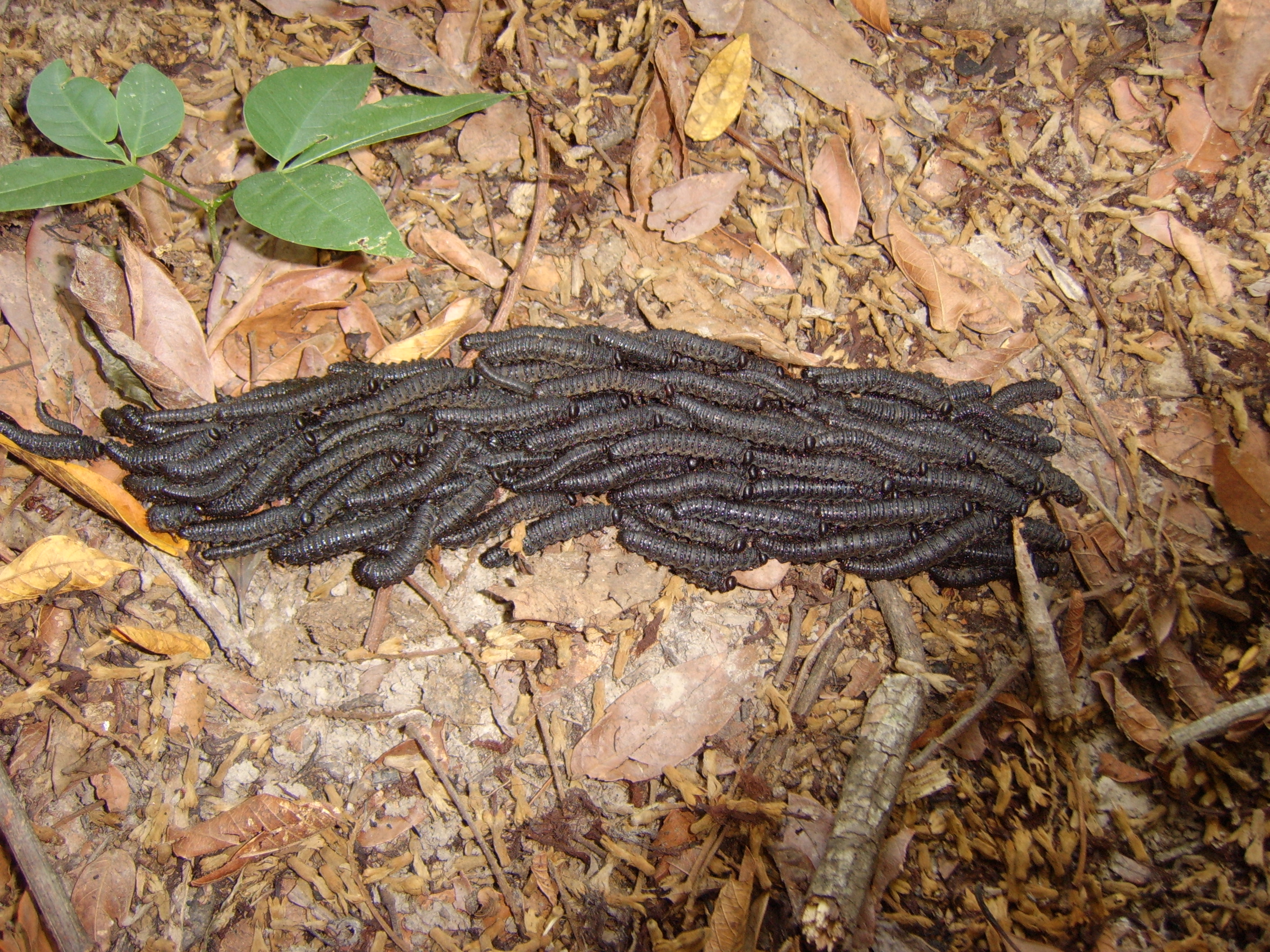 Pictures of Termite Worms http://bio.sunyorange.edu/updated2/paraguay/invert/i_insect.htm
