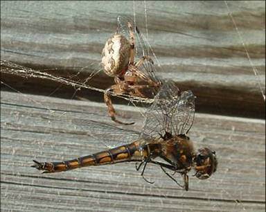 spider and dragonfly