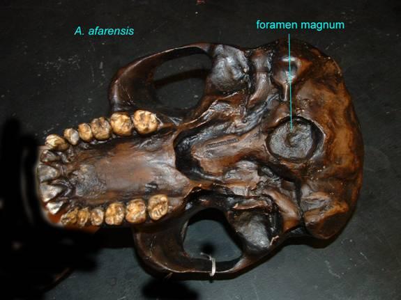 Foramen magno en Australopithecus afarensis