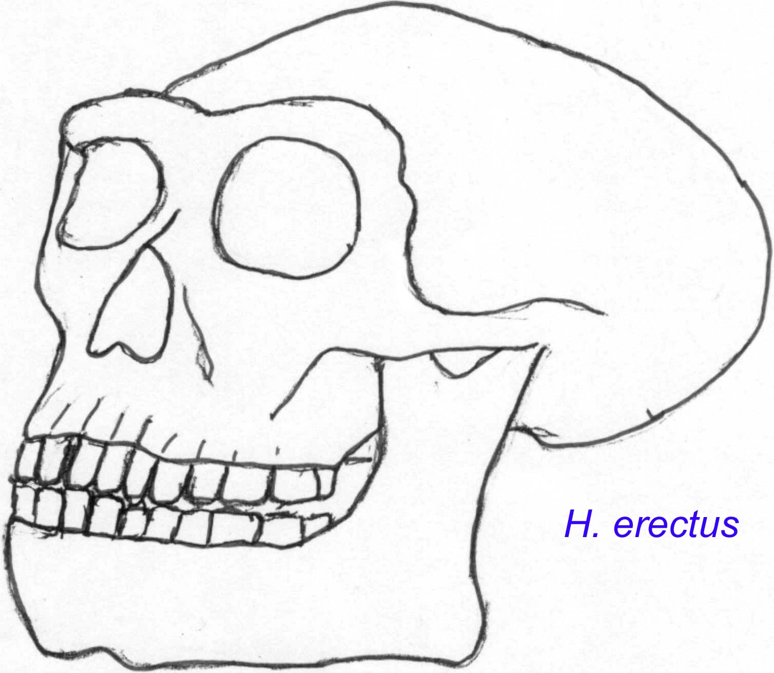 Homo erectus 1995 by joe damato 5